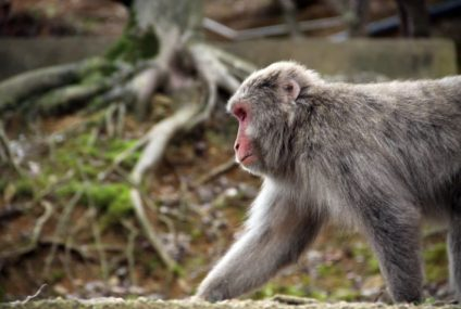 Human-Brained Monkeys: What Could Go Wrong?