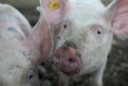 Huawei Smartphone Sales Expects 60% Drop and Now the Company Goes Into Pig Farming