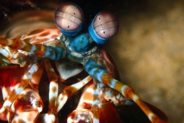 Mantis Shrimp's Mighty Punch Is Imitated By This Tiny Robot